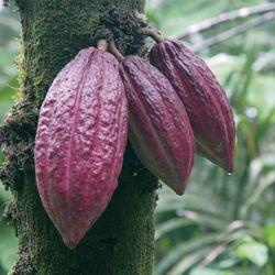 Chocolat Ruby éclats de meringues et fraise lyophilisée tablette 80g